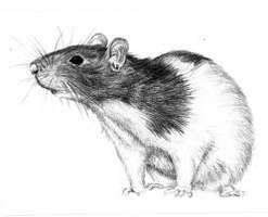 Les rats ville de nanterre - Dessin d un rat ...